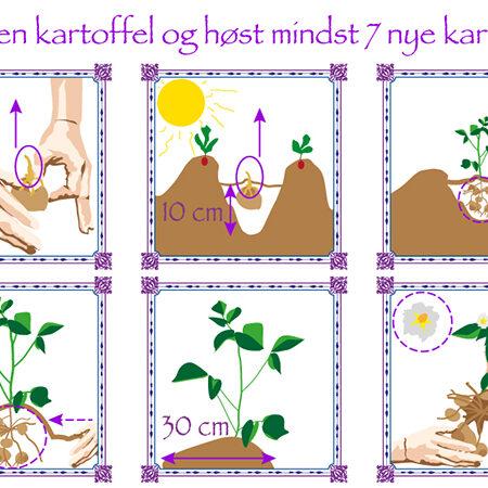 illustration til manual i plantning eller lægning af kartofler